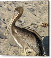 Up Close With A Pelican On A Sand Beach Acrylic Print