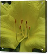 Up-close With A Very Bright Yellow Daylily Flower Acrylic Print