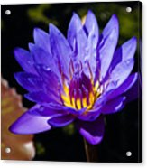 Upbeat Violet Elegance - The Beauty Of Waterlilies  Acrylic Print