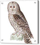 Ural Owl Acrylic Print
