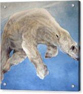 Ursus Maritimus Two Acrylic Print
