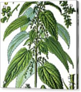 Urtica Dioica, Often Called Common Nettle Or Stinging Nettle Acrylic Print