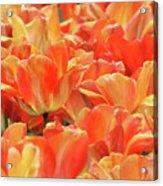 United States Capital Tulips Acrylic Print