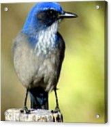 Utah Bird Acrylic Print