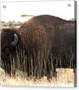 Utah Bison  Acrylic Print