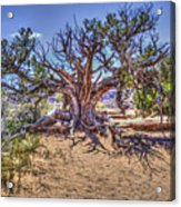 Utah Juniper On The Climb To Delicate Arch Arches National Park Acrylic Print