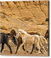Ute Mountain Wild Horses On The Run Acrylic Print
