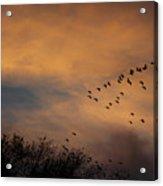 V Formation At Sunset  Acrylic Print