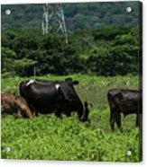 Vacas De Ahuachapan 2 Acrylic Print