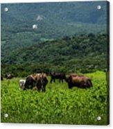 Vacas De Ahuachapan Acrylic Print