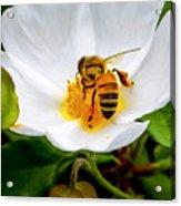 Vacaville Honey Bee Acrylic Print