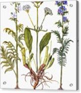 Valerian Flowers, 1613 Acrylic Print