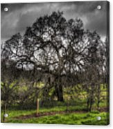 Valley Oak Acrylic Print