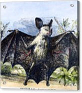 Vampire Bat Acrylic Print