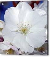 Vancouver 2017 Spring Time Cherry Blossoms - 2 Acrylic Print