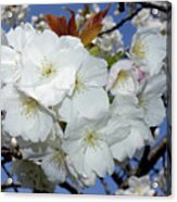 Vancouver 2017 Spring Time Cherry Blossoms - 5 Acrylic Print