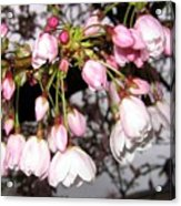 Vancouver Cherry Blossoms Acrylic Print