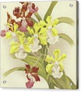 Vanda Insignis And Var Scroederiana  Acrylic Print