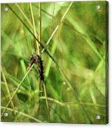 Vanessa Atalanta Red Admiral Butterfly Larvae Acrylic Print