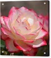 Vanilla Cherry Rose Acrylic Print