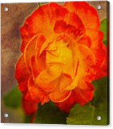 Variegated Beauty - Rose Floral Acrylic Print