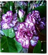 Variegated Carnations Acrylic Print