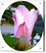 Variegated Hibiscus Flower In Circle Acrylic Print