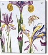 Variegated Iris Acrylic Print
