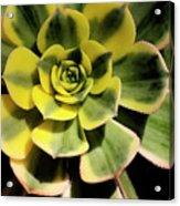 Variegated Succulent Acrylic Print