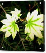Variegated Vine Maple Acrylic Print