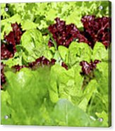 Vegetable Garden  Acrylic Print