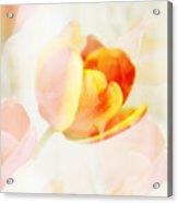 Veiled Tulip Acrylic Print