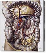 Veins And Arteries, 19th Century Acrylic Print