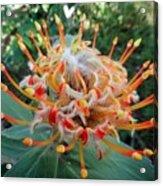 Veldfire Protea Acrylic Print