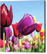 Velvet Red And Purple Tulip Flowers Closeup Acrylic Print