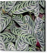 Verigated Green Leaves Acrylic Print
