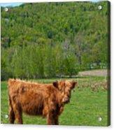 Vermont Cow Acrylic Print