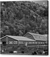 Vermont Farm With Cows Autumn Fall Black And White Acrylic Print
