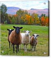 Vermont Sheep In Autumn Acrylic Print