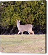 Vermont White-tailed Deer  Acrylic Print