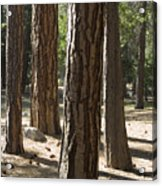 Vertical Of A Stand Of Ponderosa Pine Acrylic Print