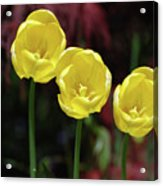 Very Blooming And Flowering Trio Of Yellow Tulips Acrylic Print