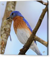 Very Bright Young Eastern Bluebird Perched On A Branch Colorful Acrylic Print