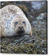 Very Chubby Harbor Seal Acrylic Print
