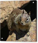 Very Cute Face Of A Wild Squirrel In California Acrylic Print