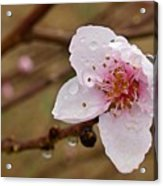 Very Early Peach Blooms Acrylic Print