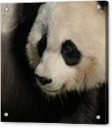 Very Fluffy Furry Face Of A Giant Panda Acrylic Print