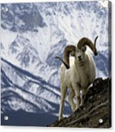Very Large Dall Sheep Ram On The Grassy Acrylic Print