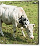 Very Muscled Cow In Green Field Acrylic Print