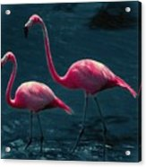 Very Pink Flamingos Acrylic Print